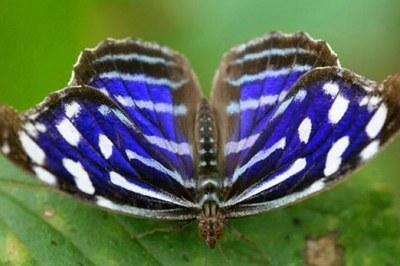 Carara Nat'l Park Butterfly