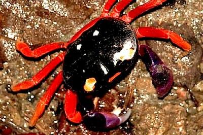 Manuel Antonio Nat'l Park Crab