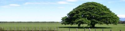 Liberia Banner Guanacaste Tree