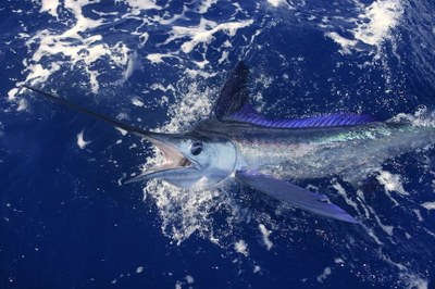 Sport Fishing photodune 1513080 beautiful white marlin real billfish sport fishing m