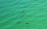 Dolphins in the Gulf in Sarasota, Florida