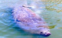 "One of the ""Locals"", a manatee, in Sarasota, Florida"